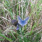 Two 'Common Grass Blue' tiny butterflies, Adelaide Hills. by Rita Blom