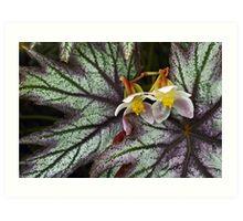 Begonia. Art Print