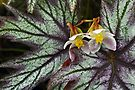 Begonia. by Todd Rollins