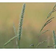 Prairie grass 1 Photographic Print