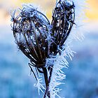 Seedpods in the Frost by secondcherry