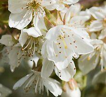 Cherry Blossom by secondcherry