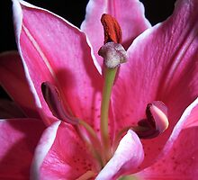 Stargazer Lily  >> by JuliaWright