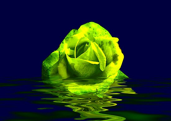 Rose #4 by Trevor Kersley