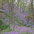 Bluebell hill by John  Lambert