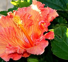 Ruffled Orange Hibiscus by Laurel Talabere