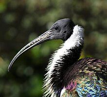 Straw Neck Ibis by Aussiebluey