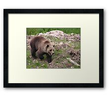 Boo the Grizzly 2 Framed Print