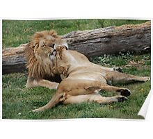 Lion Love Poster