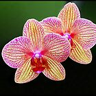 Orchids by ULHALL