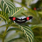 Black and Red Butterfly by Jay Gross