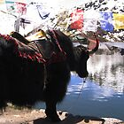 Stunning Yak by pinak