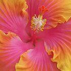 Sweet Hibiscus by tigerwings