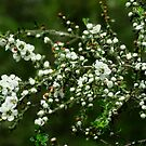 Blossoms on Green - Leptospermum by Marilyn Harris