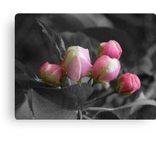 Apple Blossom Buds Canvas Print