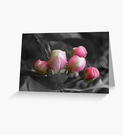 Apple Blossom Buds Greeting Card