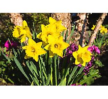 Sunny Daffodil Bouquet – Impressions Of Spring Photographic Print