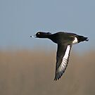 Tufted Duck In Flight by Robert Abraham