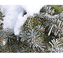 Winter Pine Photographic Print