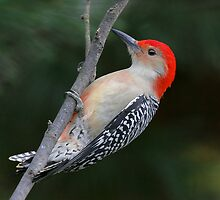 Male Red Bellied Woodpecker by Jim Davis