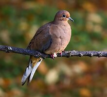 Morning Dove by Jim Davis