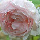 Rosa 'Heritage' by Julie Sherlock