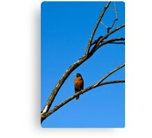 American Robin in Tree Canvas Print