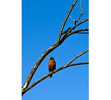 American Robin in Tree Photographic Print