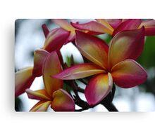 Colourful Frangipani Canvas Print