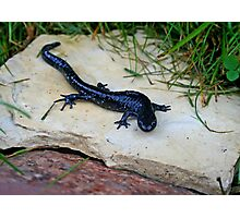 Blue-Spotted Salamander Photographic Print