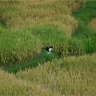 Cat lost in Bali grass by garryr