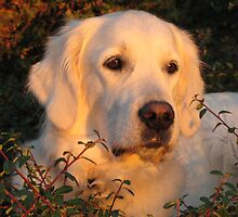 Golden Retriever Ditte enjoys the setting sun by Trine