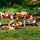 African Wild Dog Family by miroslava