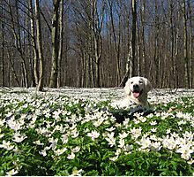 Ditte in the anemones Photographic Print