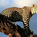 Leopard in a tree by Kevin Jeffery