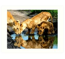 Reflections of Lions Art Print