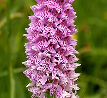 Common Spotted-orchid by Roger Butterfield