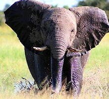 Young Elephant Bull Charging by Kevin Jeffery