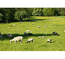 Sheep in a Field Photographic Print