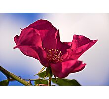 Red Rose and Sky Photographic Print