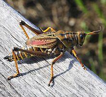 Florida Everglades - Grasshopper by bertspix