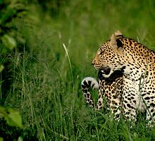 Leopard by Kevin Jeffery