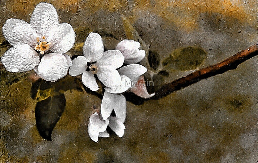 Apple Blossoms - N. Waterford, Maine by T.J. Martin