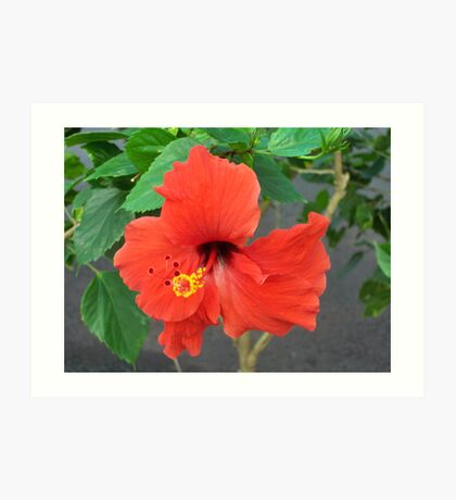 Perfect red hibiscus Art Print