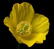 Welsh Poppy by Roger Butterfield