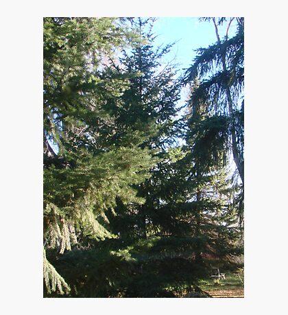 Coniferous Evergreen Photographic Print