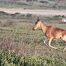 Coke's Hartebeest by Nickolay Stanev