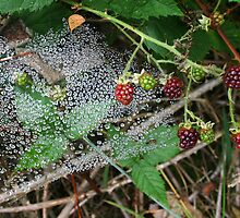 Dewy Web among the Berries * by Laurel Talabere