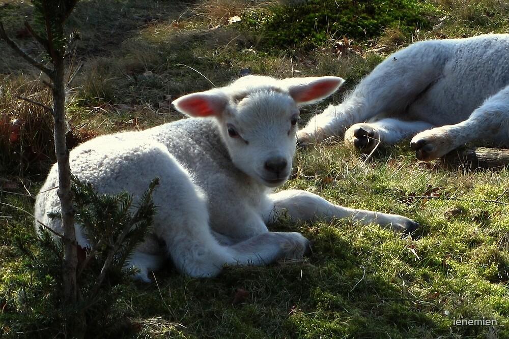 Little Lamb by ienemien