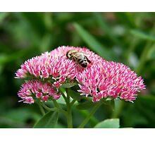 Sedum and the bee Photographic Print